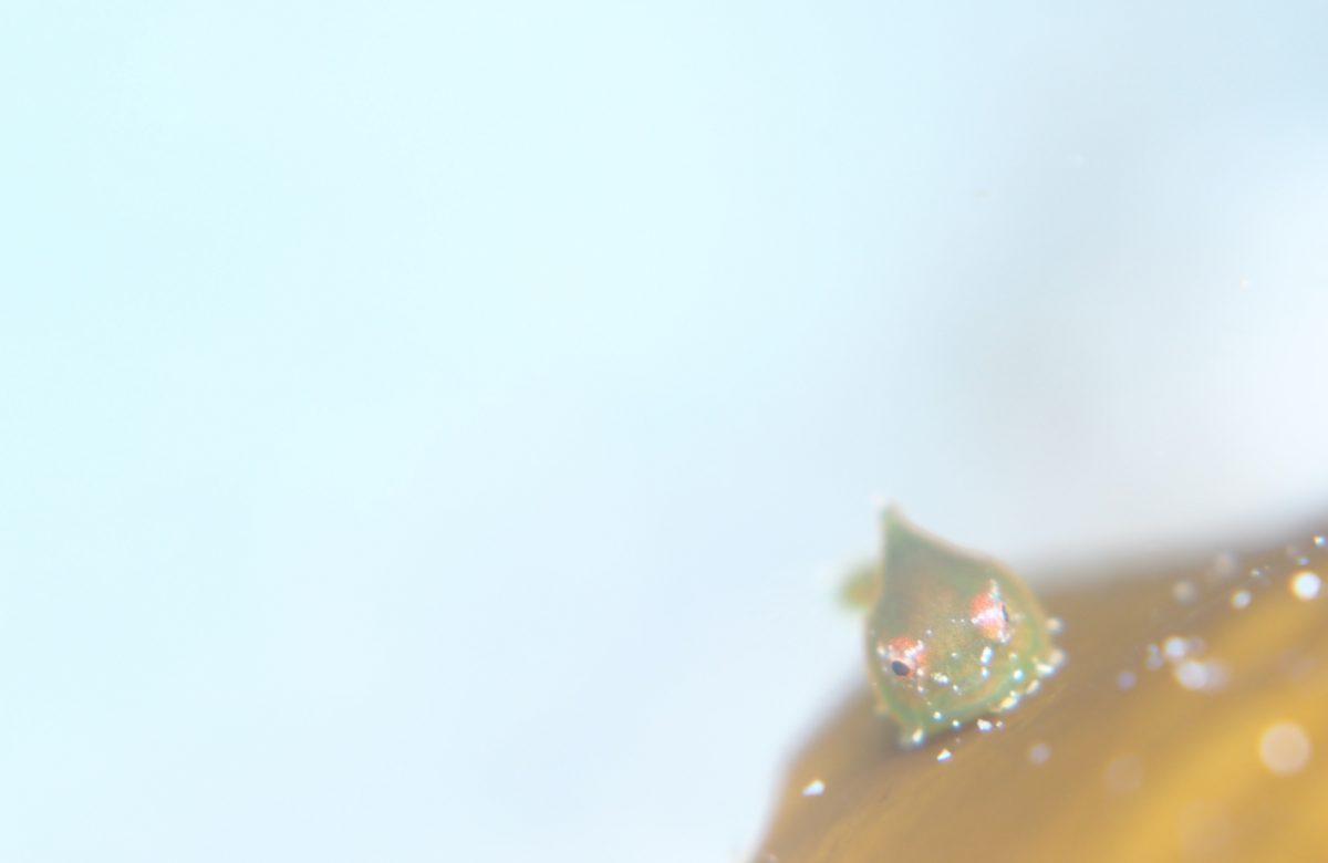 ミドリのダンゴウオ