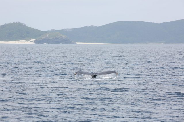 ザトウクジラ テール